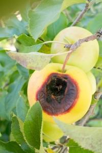 pommes-4